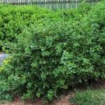 Alpine Currant, Ribes alpinum