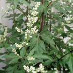 Artemisia, Artemisia spp.