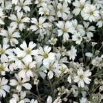 Cerastium/Snow-In-Summer, Cerastium tomentosum