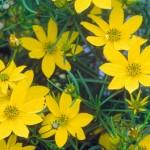 Coreopsis/Tickseed, Coreopsis spp.