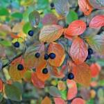 Peking Cotoneaster, Cotoneaster lucidus