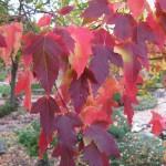 Amur Maple, Acer ginnala