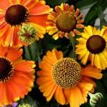Helenium/Sneezeweed, Helenium autumnale