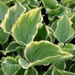 Hosta/Plantain Lily, Hosta spp.