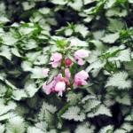 Lamium, Lamium maculatum spp.