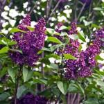 French Hybrid Lilac, Syringa vulgaris 'Andenken an Ludwig Spaeth'