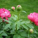 Peony, Paeonia lactiflora spp.