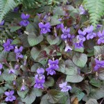 Violet, Viola spp.