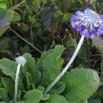 Primrose/Garden Auricula, Primula spp.
