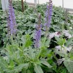 Salvia, Salvia spp.