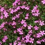 Saponaria/Soapwort, Saponaria ocymoides