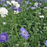 Pincushion Flower/Scabiosa, Scabiosa caucasica