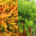 Sedum/Stonecrop, Sedum spp.