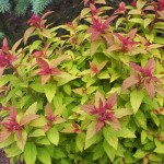 Spiraea, Spiraea japonica spp.