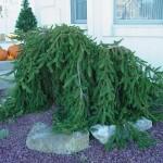 Weeping Norway Spruce, Picea abies pendula